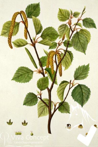 Viva Concept Betula pubescensZachte berk