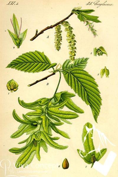 Viva Concept Carpinus betulusHaagbeuk
