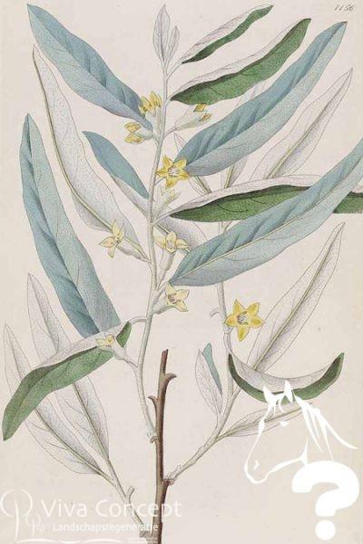 Viva Concept Elaeagnus angustifoliaOlijfwilg