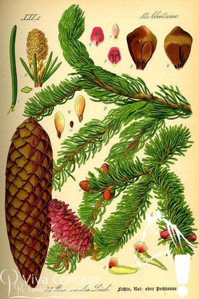 Viva Concept Picea abiesFijnspar