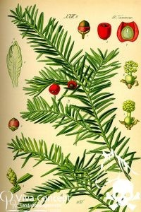 Viva Concept Taxus baccataGewone taxus