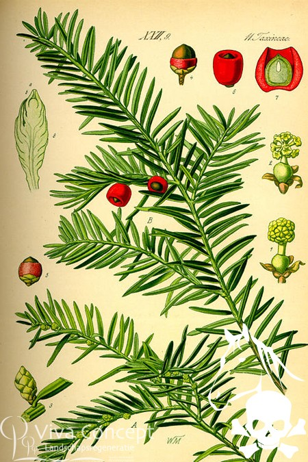 Viva Concept Taxus baccata Gewone taxus