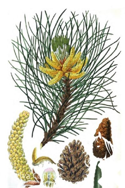Viva Concept Pinus nigra 'Laricio'Corsicaanse den