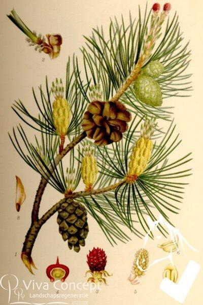 Viva Concept Pinus sylvestrisGrove den